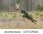 Hunting Dog On Point