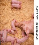 a group of little piglets... | Shutterstock . vector #13712341
