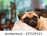 A Sad Pug Lays His Head On The...