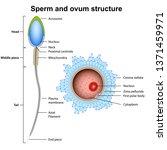 sperm and ovum anatomy vector... | Shutterstock .eps vector #1371459971