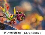 blackberries in the autumn... | Shutterstock . vector #1371485897