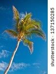 Tall Coconut Palm Tree Set...