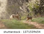 Stock photo european hare lepus europaeus 1371539654