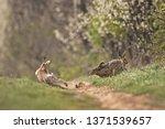 Stock photo european hare lepus europaeus 1371539657