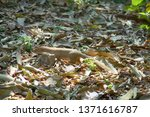 indian mammals. mongoose mungo  ... | Shutterstock . vector #1371616787