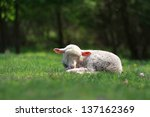 Cute Lamb Lying Down In Meadow