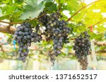 black wine grapes with blurred... | Shutterstock . vector #1371652517