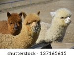 Alpaca  Vicugna Pacos  Is A...