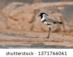 beautiful bird  river lapwing ... | Shutterstock . vector #1371766061