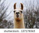 A Portrait Of A Llama