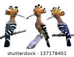 Set Of Common Hoopoe Or...