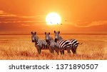African Zebras At Beautiful...