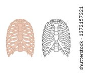 thorax  ribs  sternum  clavicle ...   Shutterstock .eps vector #1372157321