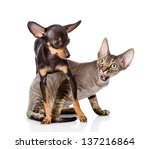 Stock photo devon rex cat and toy terrier puppy playing together looking away isolated on white background 137216864