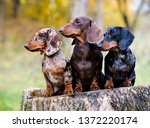 Dachshunds Dog In The Autumn...