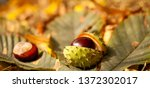 Conkers    Horse Chestnut...