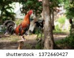 Philippine Fighting Rooster...