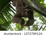 a sloth smiling at the camera... | Shutterstock . vector #1372789124