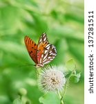 Small photo of Gulf Fritillary butterfly (Agraulis vanillae) feeding on buttonbush flower. Natural green background.