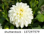 Closeup Of   Dahlia Flower...