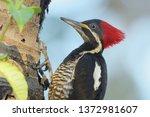 Female Lineated Woodpecker ...