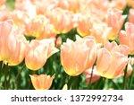 Tulip Field Apricot Beauty