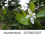 flowers of lemon trees in a... | Shutterstock . vector #1373021207
