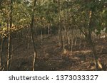 tall thin trees  ground... | Shutterstock . vector #1373033327