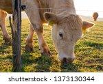 Cattle Grazing Behind An...
