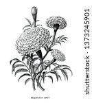 marigold flower hand draw... | Shutterstock .eps vector #1373245901