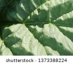 Closeup  Macro  Of Rhubarb...