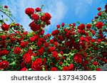 Red Roses On Sunny Sky...