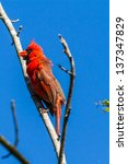 Small photo of A Bright Red Male Cardinal Bird in a Tree (Cardinalidae) on a Blue Sky Background.