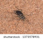 Tiger beetle species on the sandy soils in the Crex Meadows Wildlife Area in Northern Wisconsin