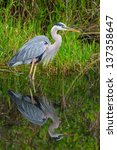 Great Blue Heron In Everglades...