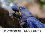 Anodorhynchus Hyacinthinus...