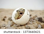 Stock photo africa spurred tortoise are born naturally tortoise hatching from egg cute portrait of baby 1373660621
