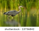 Grey Heron With Branch