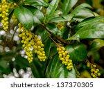 Small photo of Berberis valdiviana flowering plant