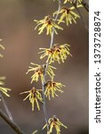 branch of hamamelis or witch... | Shutterstock . vector #1373728874