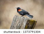 a red winged blackbird is... | Shutterstock . vector #1373791304