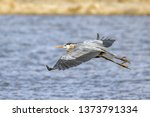A Great Blue Heron Flies Low...