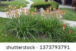 Red Hot Poker Grandiflora Plant ...