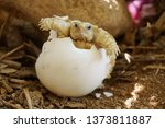 africa spurred tortoise are... | Shutterstock . vector #1373811887