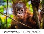 World\'s Cutest Baby Orangutan...