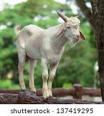Wild White Goat On A Fence