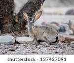 Small photo of Black-tailed Jackrabbit during springtime in southeastern Arizona/All Ears on Wild Black-tailed Jackrabbit/An alert Black-tailed Jackrabbit during springtime in the Southwest USA