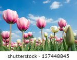 Pink Tulips On Sky Background