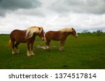 draft horses on mach road on... | Shutterstock . vector #1374517814