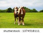 draft horses on mach road on... | Shutterstock . vector #1374518111